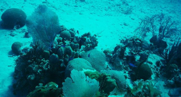 El coral se adhiere a las rocas de agua salada para crear un arrecife.