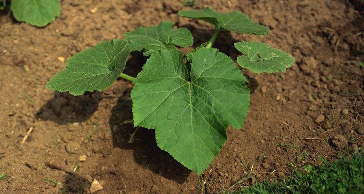 No rocíes pimienta de Cayena directamente en tus plantas.