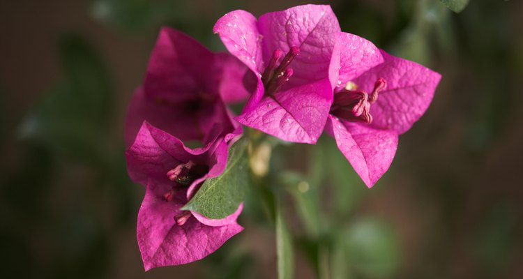 Growers of bougainvillea often let the plant dry out until it wilts to stimulate the plant to form flowers