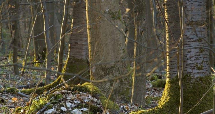 Los cerezos silvestres tienen sistemas de raíces profundos.