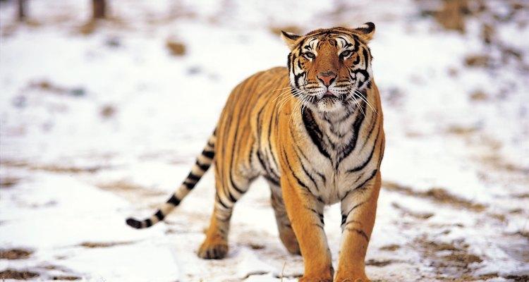 Os tigres caçam sua presa na natureza, esteja sol ou nevando