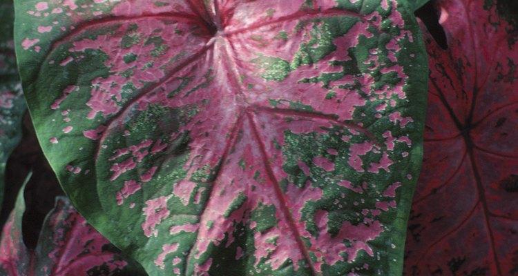 Las caladiums, una planta de interior muy común, son tóxicas para los seres humanos.