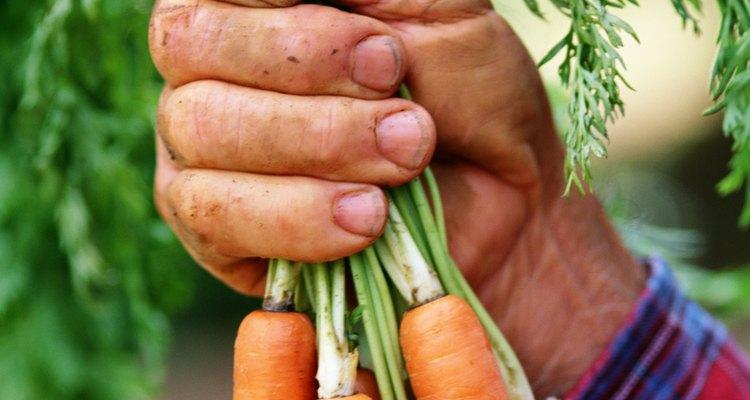 Saca las zanahorias a lo largo de la temporada de cosecha.