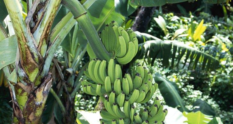 De acordo com a Purdue University, uma bananeira é uma grande erva em vez de uma árvore
