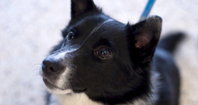 Con un cuidado adecuado, tus cachorros Collie pueden tener una vida feliz y saludable.