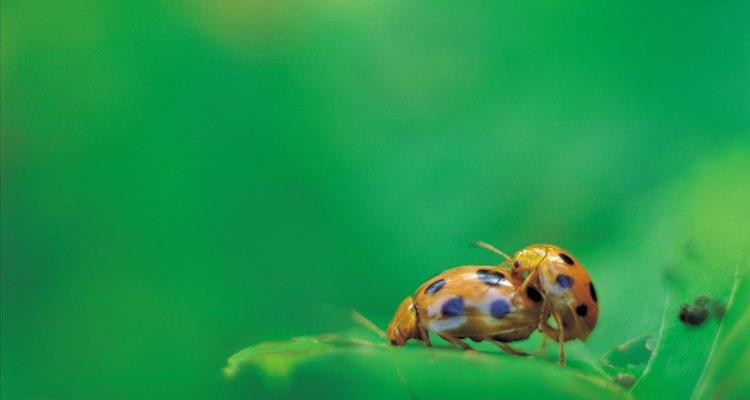 Muchos tipos de escarabajos se alimentan de la corteza de los árboles estresados.