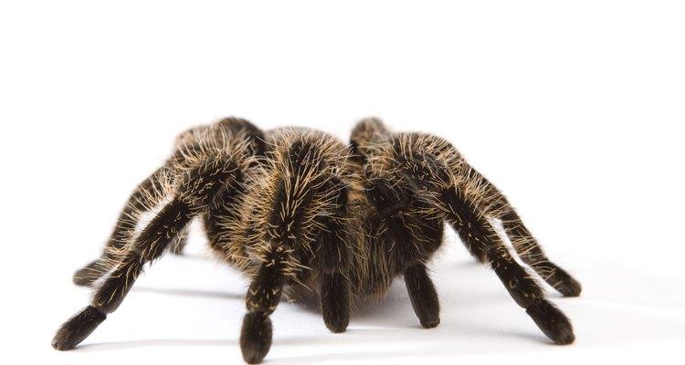 As aranhas têm vários tamanhos e cores