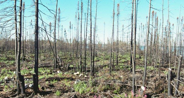 Incêndios podem acabar com espécies de vegetais e animais em dias