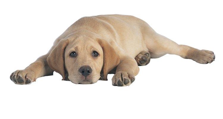 Preste atenção aos sinais de dor em seu cãozinho