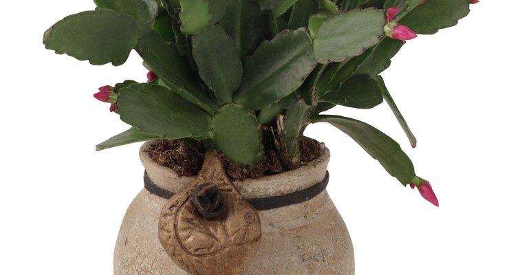 Los cactus de navidad comienzan a florecer cuando las temperaturas nocturnas empiezan a caer por debajo de los 60 grados F (15 grados C).