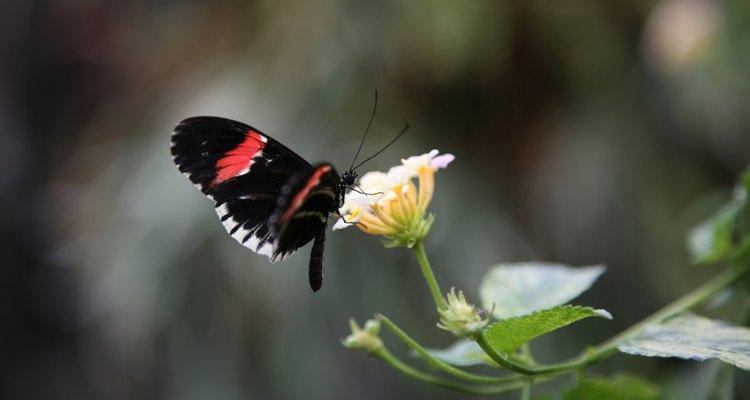 Las mariposas tienen metamorfosis completa, una transformación hacia la adultez.
