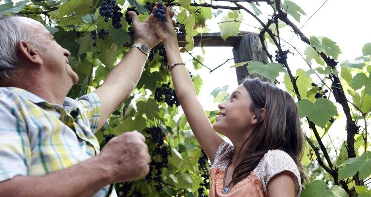 Un enrejado bien estructurado para parras de uvas alienta la producción saludable de uvas.