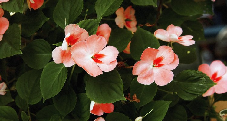 Las alegrías anaranjadas se pueden comenzar en un invernadero.