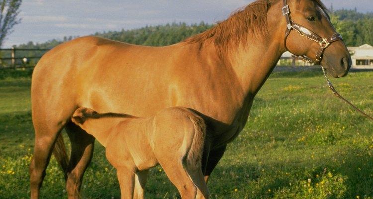 Determinar se a égua está no cio é importante para programar sua reprodução