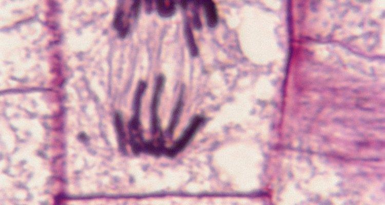 Una célula pasando por la mitosis.