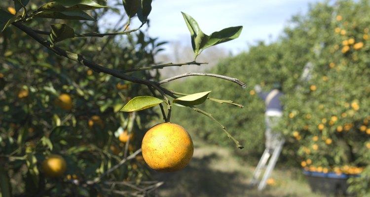 Los naranjos requieren recursos adicionales para que florezcan y den frutos.