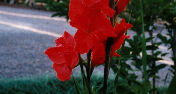 Las flores de gladiolo no puede sobrevivir al aire libre durante el invierno en la mayoría de los climas.