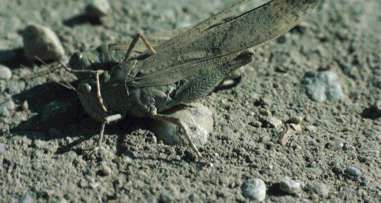Las langostas forman un enjambre juntas y desnudan de vegetación los lugares causando enorme devastación.