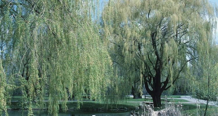 Willow trees growing near septic fields invade pipes and cause backups.