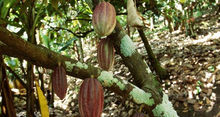 El grano de cacao crece en las regiones ecuatoriales del mundo.