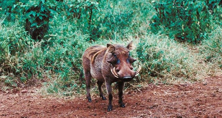 Los cerdos salvajes son los más prolíficos de los omnívoros de la selva.