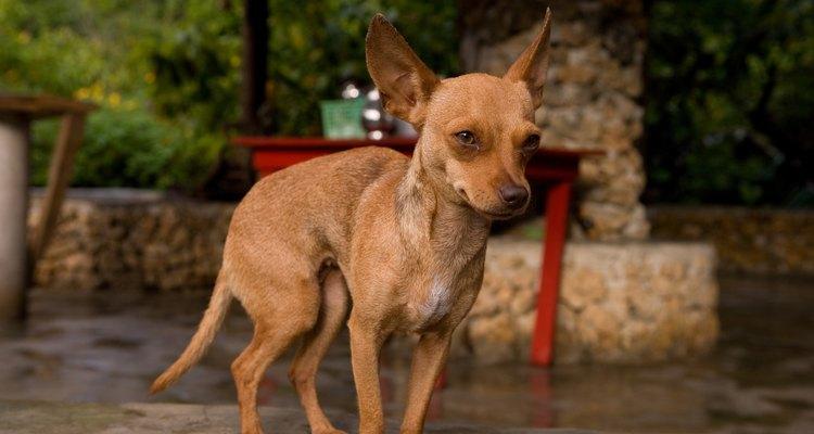 Chihuahua en el exterior.