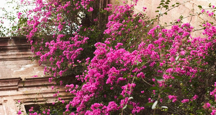 La bougainvilla colorida ofrece un ambiente tropical.