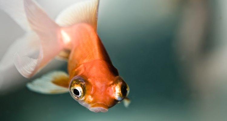 Um peixe-dourado adulto necessita de 75 a 115 litros de água
