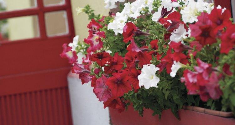 Las petunias florecen abundantemente durante toda la estación.