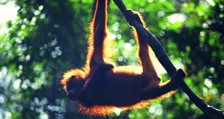 Los orangutanes viajan solos para poder encontrar comida suficiente.