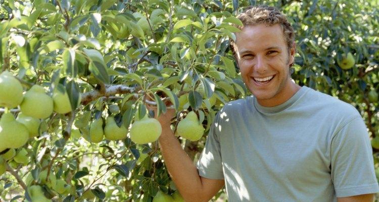 Los perales sanos proveen frutas y sombra.