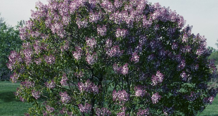 Persian lilac's flower clusters are much smaller than those seen on modern lilac cultivars.