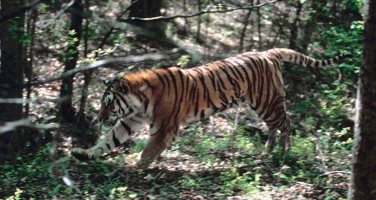 Os tigres usam camuflagem e espreita para se aproximar da presa antes de atacar