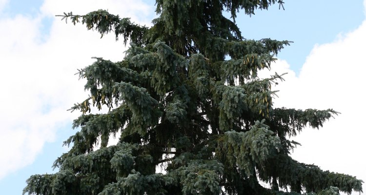 A number of conifers, including spruce, can tolerate clay soil.