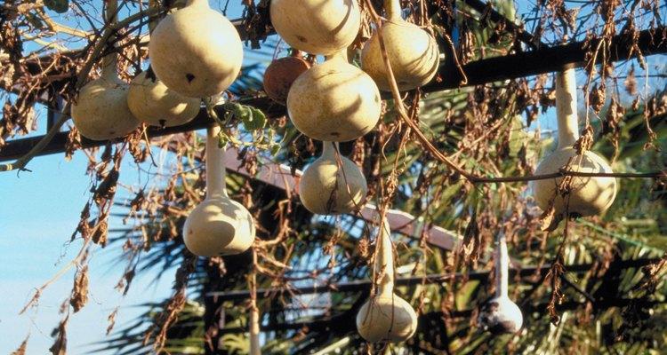 Los zarcillos ayudan al ascenso y propagación de la planta.