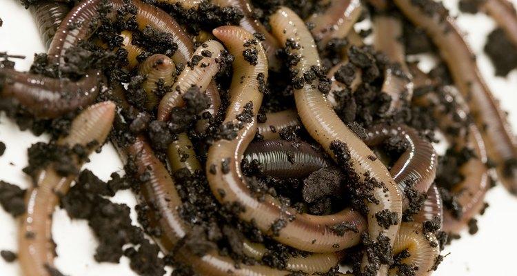 As minhocas tanto podem ser benéficas para o seu jardim como podem se tornar pragas