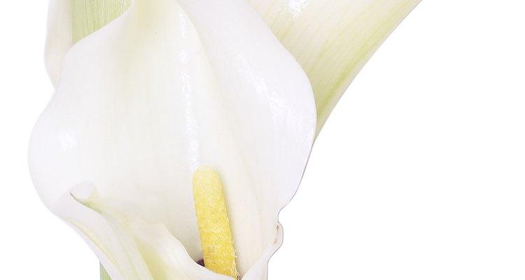 Los lirios casa blanca en recipientes pueden requerir más frecuentemente fertilizantes y riego que los plantados en el suelo.