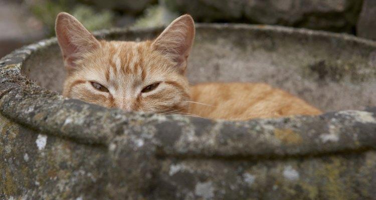 A urina de gato produz um forte cheiro de amônia