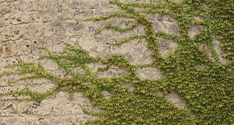 La hiedra común se expande con facilidad y se debe podar para controlarla.