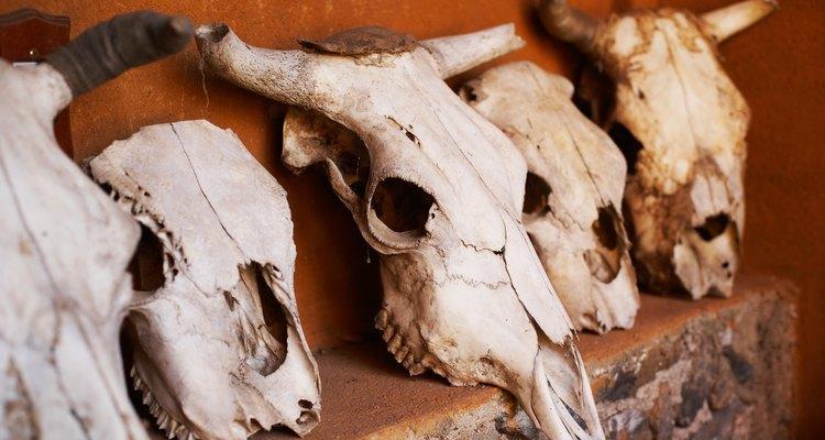 Crânios de vaca são geralmente usados em decoração de faroeste