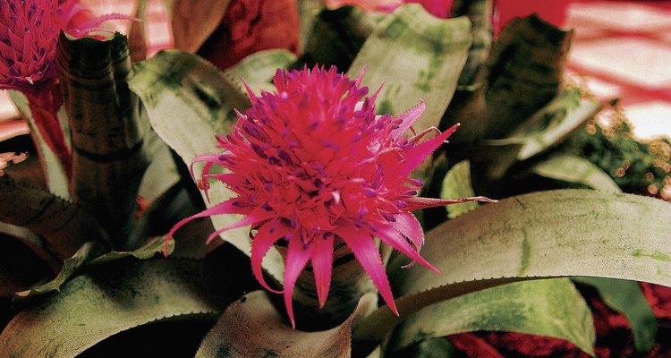 Enfeite seu espaço interno com uma bromélia rosa em um vaso