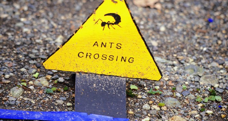 To locate ant nests, you can follow ant trails that cross driveways and walkways.