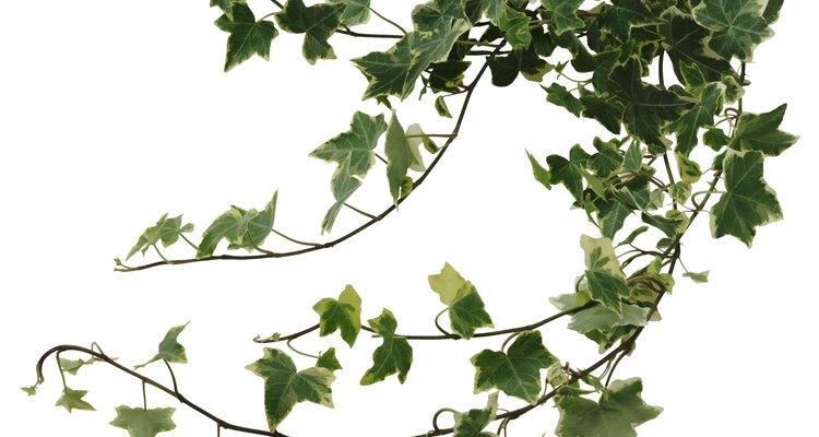 La monstera deleciosa es nativa de las junglas de Centroamérica.