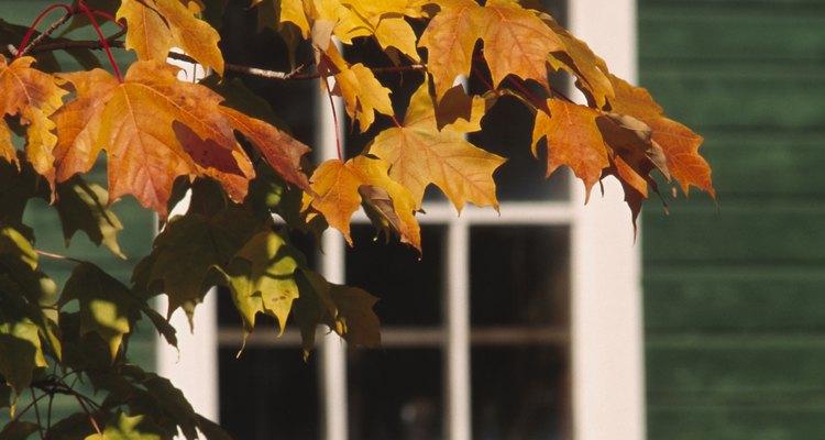 La liquidámbar (liquidambar styraciflua) es un árbol caducifolio con hojas como de arce.