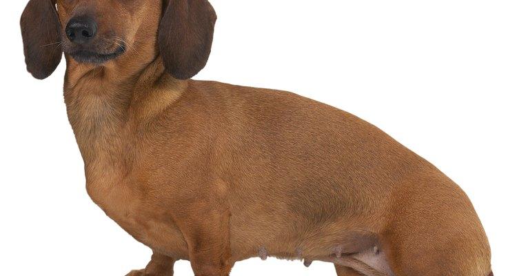 Os criadores devem estar atentos a tudo que ocorre durante o ciclo reprodutivo do dachshund miniatura