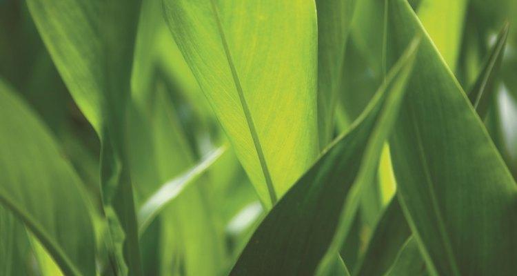 Durante la respiración celular, las plantas usan oxígeno para desglosar más los productos de la glucólisis.