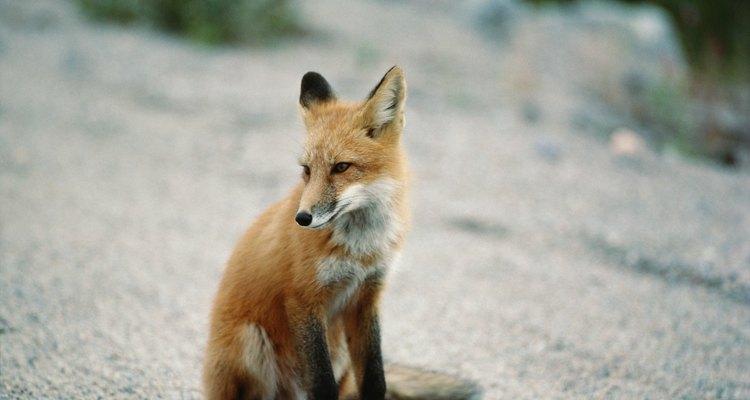 A raposa criada em cativeiro pode ser de quase qualquer cor