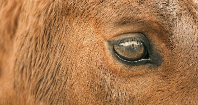 Cavalos mais velhos podem sofrer da doença de Cushing