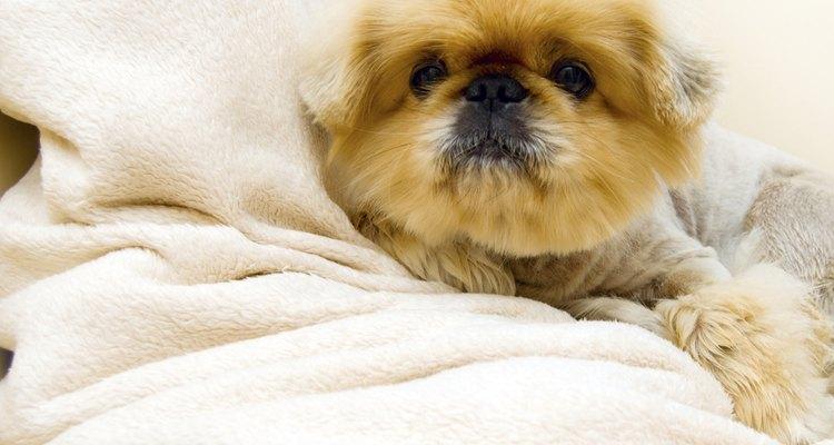 Un perro con una cobija.