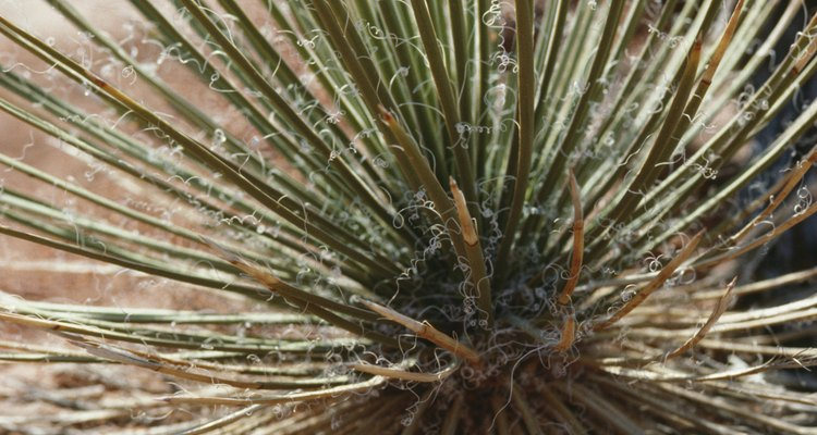 Yucca plants thrive under harsh conditions, including poor soil and full shade.